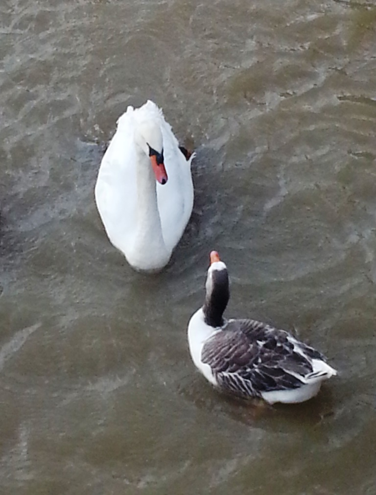 silent sunday swan and goose at Stratford upon avon